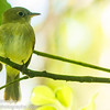 Yellow-bellied Flycatcher
