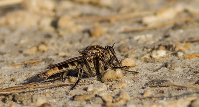 Banded Robberf Fly