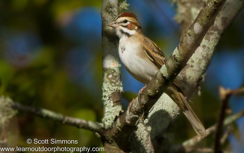 Lark Sparrow at Lake Apopka, 11/5/2016