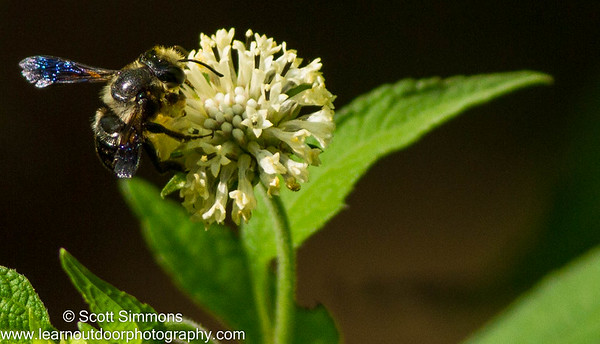 Leafcutter Bees (Megachile)