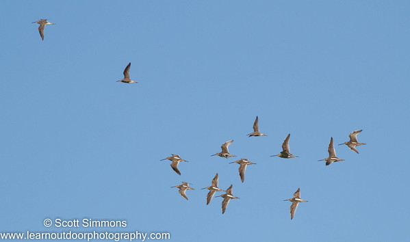 Stilt Sandpipers with Long-billed Dowitchers