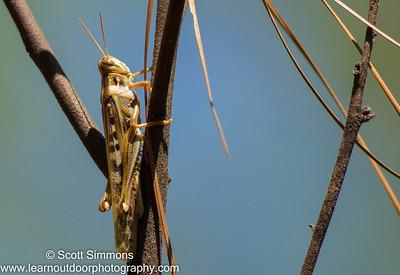 American Grasshopper