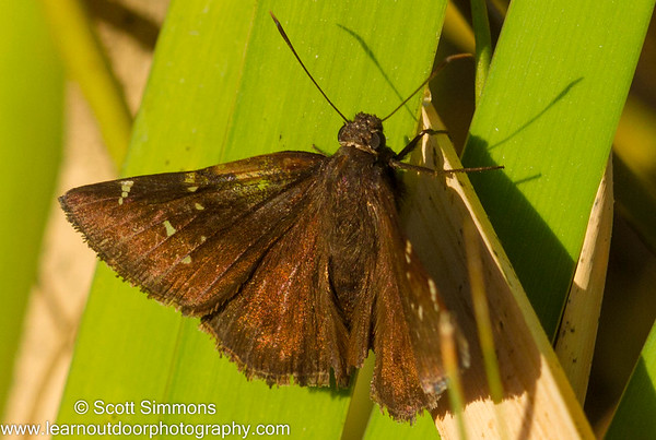Cloudywing Skippers