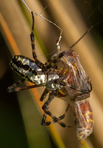 Florida Argiope with Paper Wasp