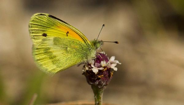 Sulphurs (Pieridae)