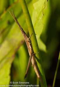 Long-Headed Toothpick Grasshopper