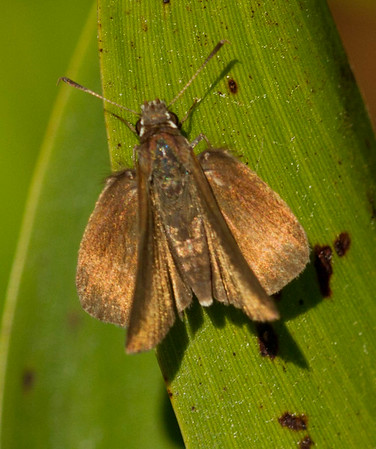 Grass Skipper (Hesperiinae)