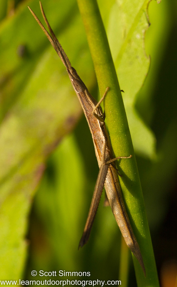 Long-Headed Toothpick Grasshopper