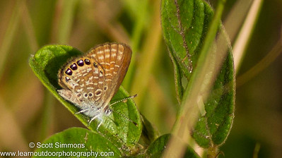 Hairstreaks and Blues