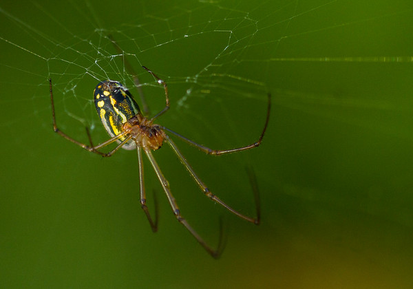 Agyra Orchard Spider