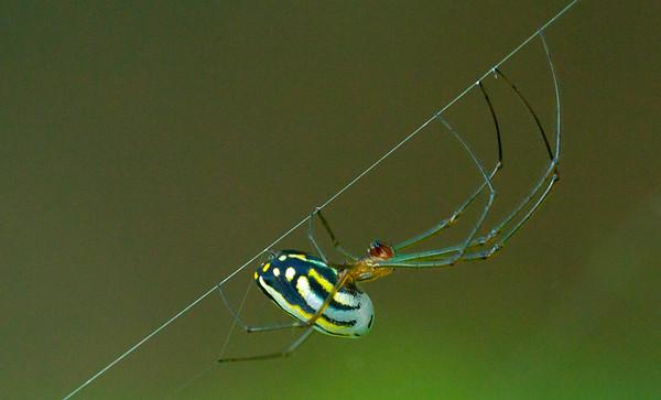Argyra Orchard Spider