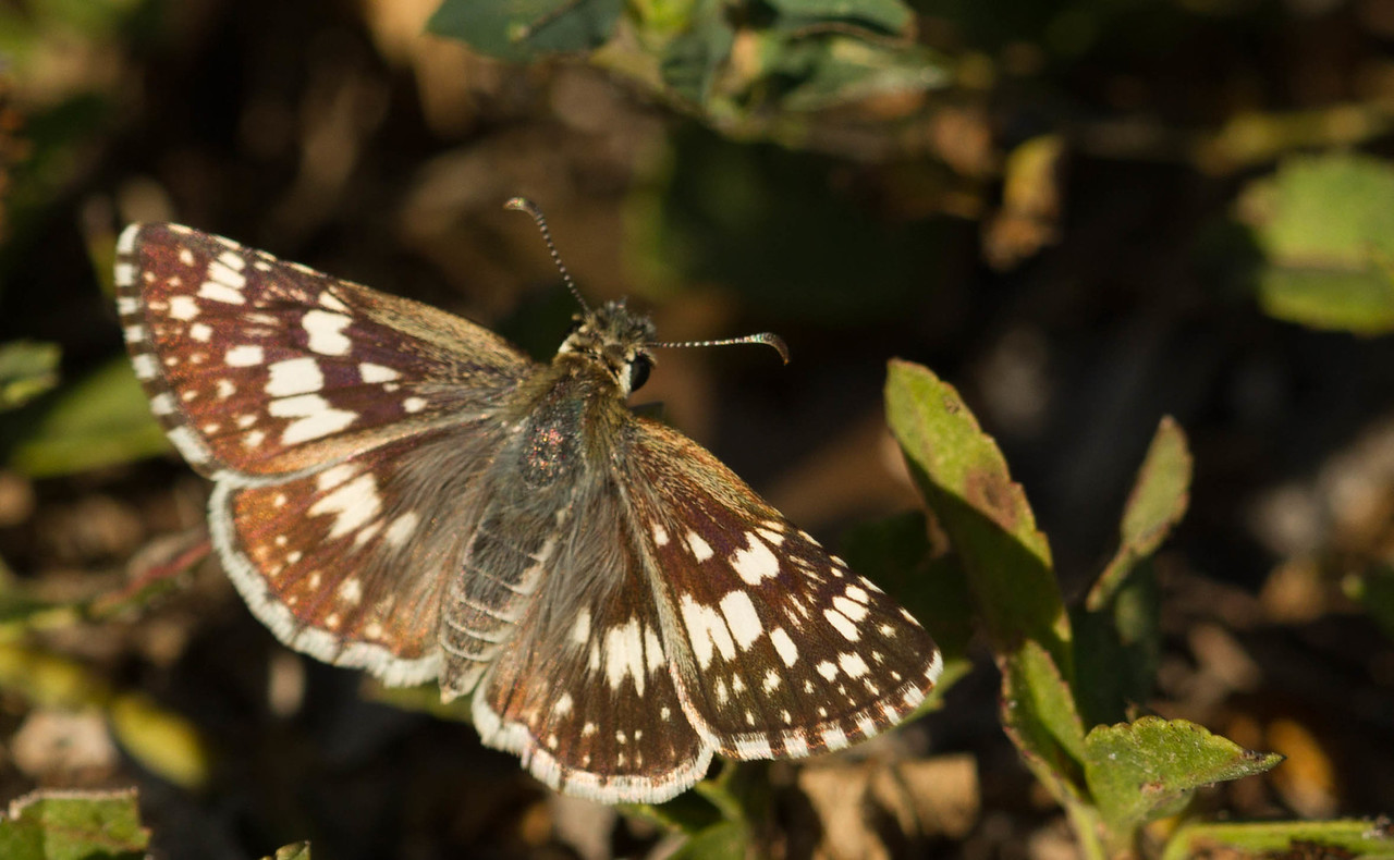 Common/White Checkered-Skipper