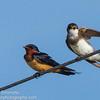 Bank and Barn Swallows