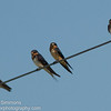 Cave, Northern Rough-winged, Barn Swallows