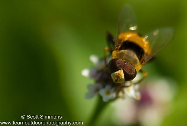 Eristalini Fly
