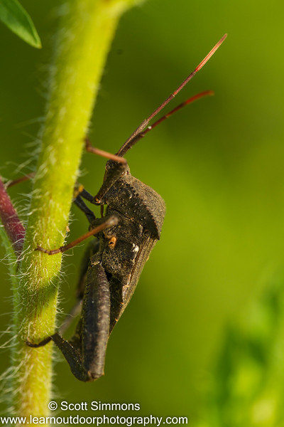 Acanthocephala terminalis
