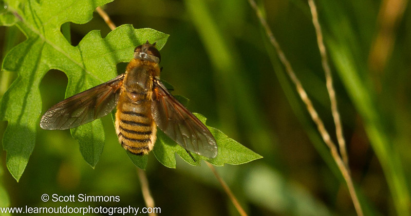 Beefly (Poecilanthrax lucifer)