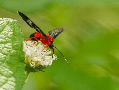 Scarlot-bodied Wasp-Moth