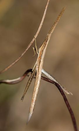 Long-headed Toothpick-Grasshopper