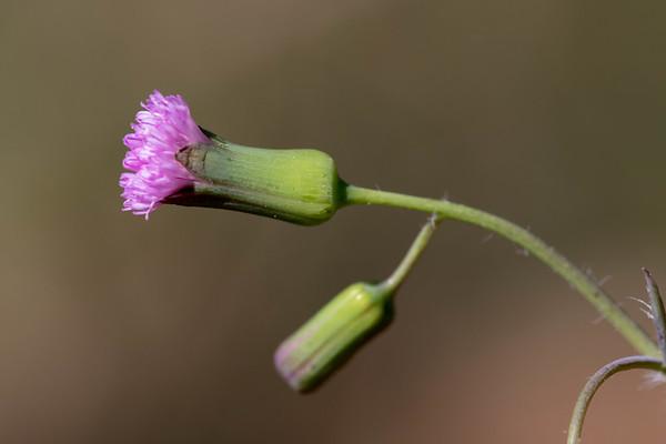 Lilac Tasselflower