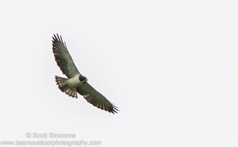 Short-tailed Hawk (Light Morph)