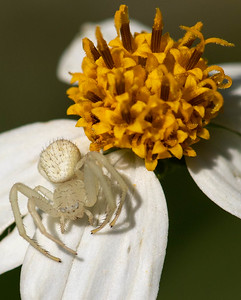 Flower-Crab Spiders