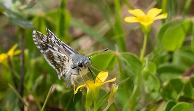 Common/White Checkered-Skipper