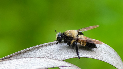 Macquart's Bee-mimic Robber Fly