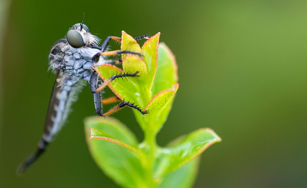 Efferia Robberflies