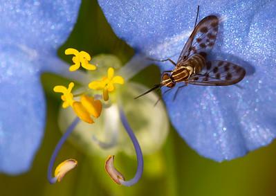 Poecilognathus Bee Flies