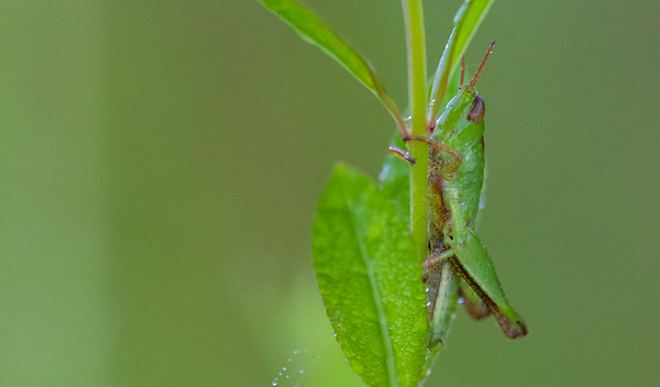 Stridulating Slant-faced Grasshopper