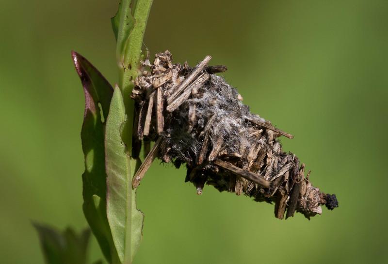 Abbot's Bagworm Moth