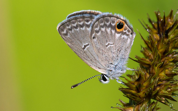 Hairstreaks and Blues (Lycaenidae)