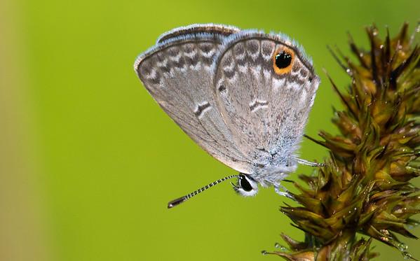 Hairstreaks and Blues (Lycaenidae)