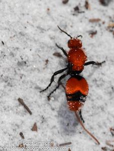 Common Eastern Velvet Ant