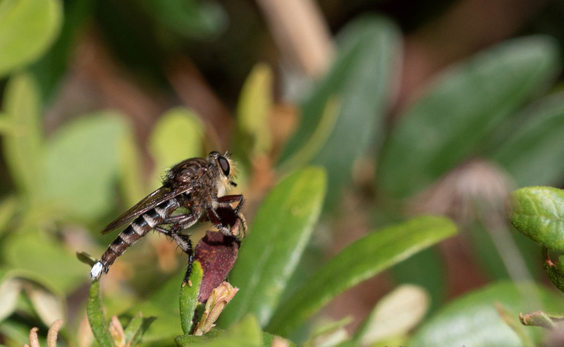 White-tailed Robberfly