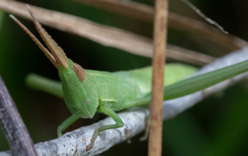 Mermiria Toothpick Grasshopper