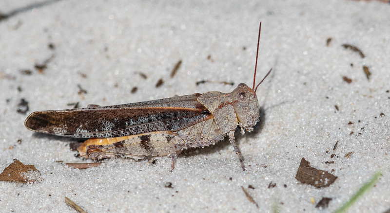 Southern Marbled Grasshopper