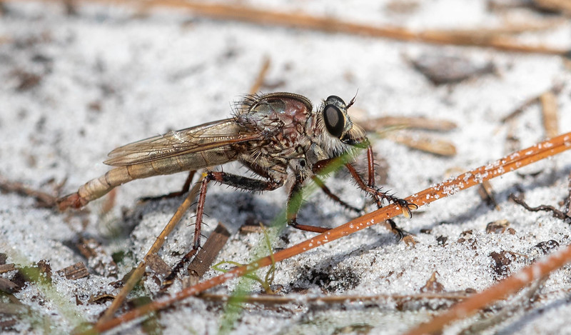Proctacanthus Sp. Robberfly