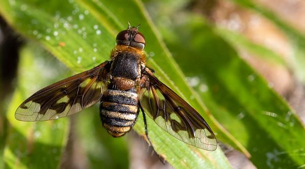 Beefly (Exoprosopa fascipennis)