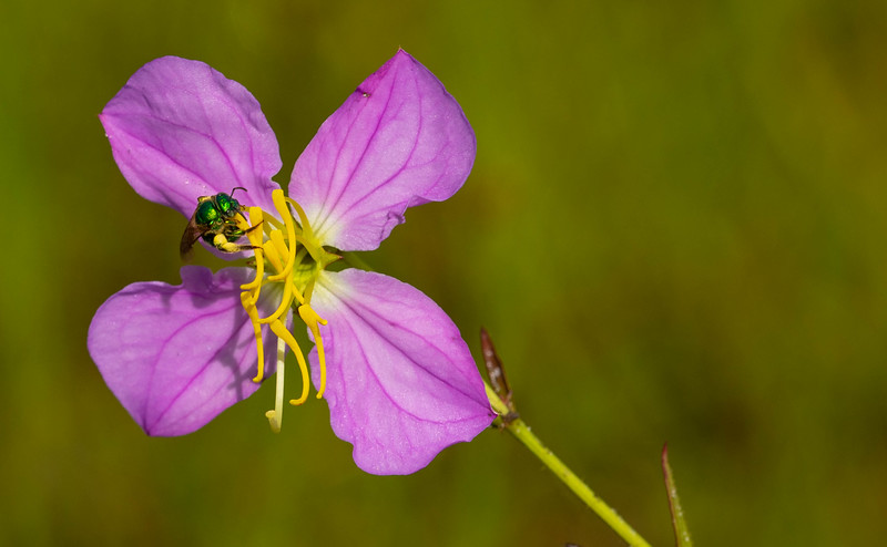 Meadow Beauty with Sweat Bee