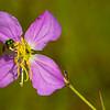 Meadow Beauty with Sweat Bee