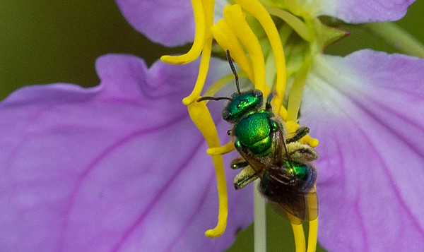 Sweat Bees (Augochloropsis)
