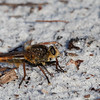 Spine-tailed Robber Fly