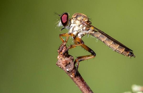 Ommatius Robberflies