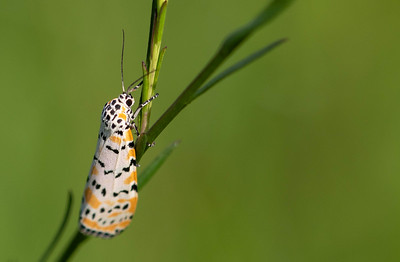 Ornate Bella Moth