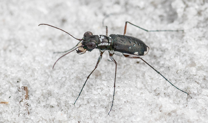 Scabrous Tiger Beetle