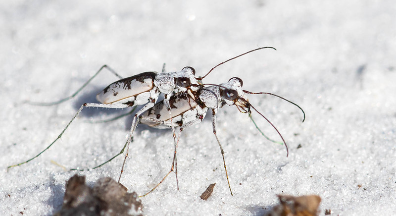 Mustached Tiger Beetle