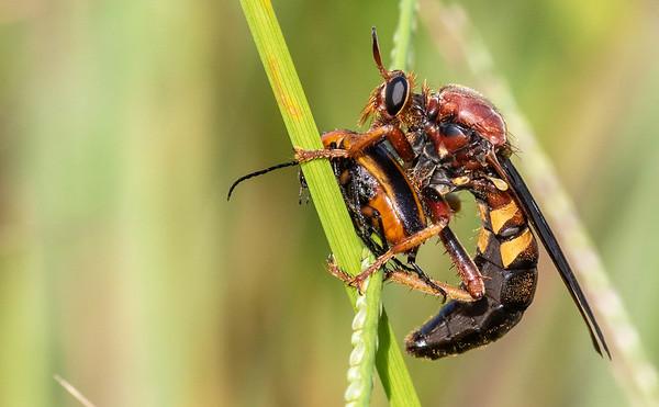 Bee-mimic Robber Flies