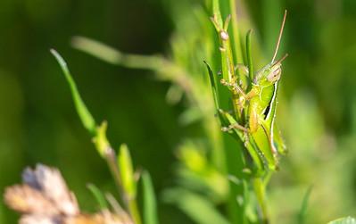 Linear-winged Grasshapper